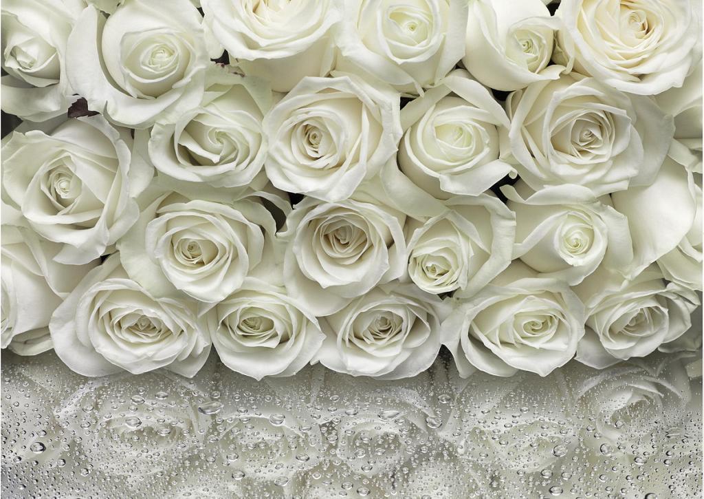 картинки цветы белые розы: